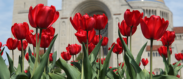 TULIPS BLOOM OUTSIDE NATIONAL SHRINE IN WASHINGTON
