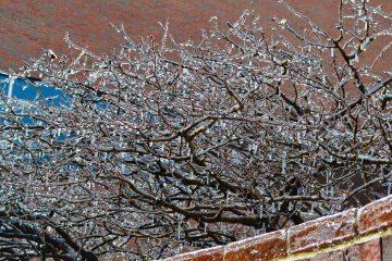 Ice coats trees across from St. Louis Church (CT Photo/Greg Hartman)
