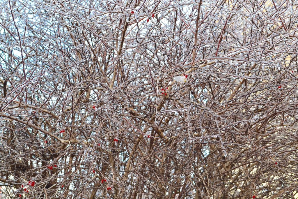 A few hold out berries cling to its mother tree coated in ice (CT Photo/Greg Hartman)